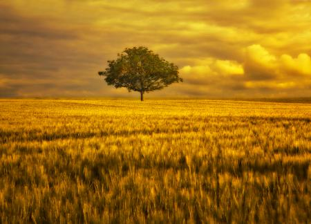 Картинки поле, дерево, небо, золото