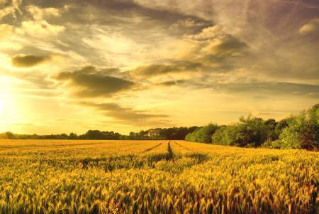 Обои поле, пшеница, золото