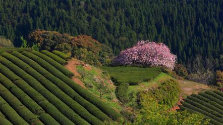 Картинки Япония, природа, сакура, чайные плантации