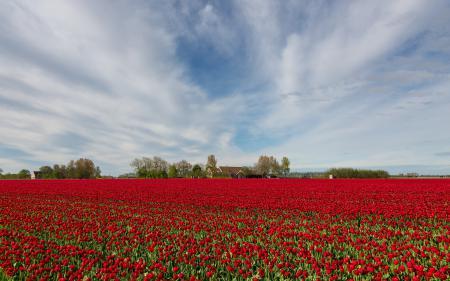 Заставки поле, тюльпаны, пейзаж