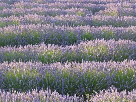 Картинки лаванда, цветы, поле, природа