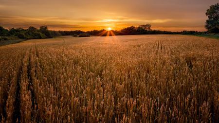 Картинки поле, колоски, солнце, небо