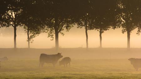 Заставки утро, коровы, поле, туман