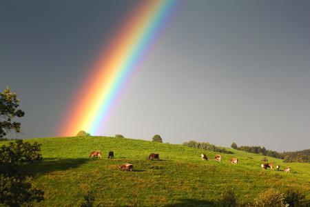 Фото радуга, небо, коровы