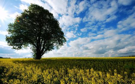 Картинки дерево, лето, поле, рапс