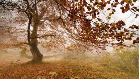Картинки дерево, туман, листья