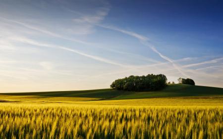 Обои поле, колосья, пшеница, деревья
