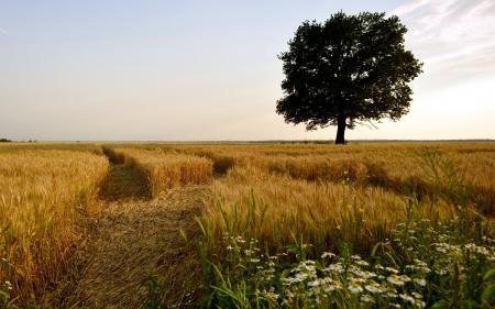 Фотографии поле, дерево, природа, пейзаж