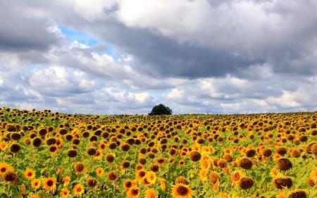 Фото поле, подсолнухи, пейзаж