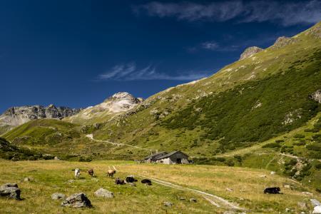 Обои альпы, горы, животные, скот