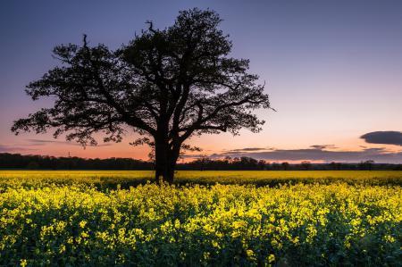 Картинки поле, дерево, рапс, пейзаж
