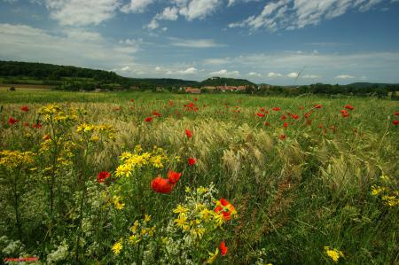 Картинки луг, трава, цветы, маки