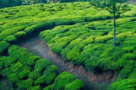 Заставки индия, поля, чайные плантации, дорожка