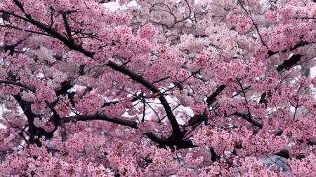 Обои цветы, дерево, вишни