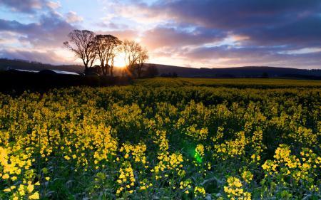 Обои поле, рапс, природа, пейзаж