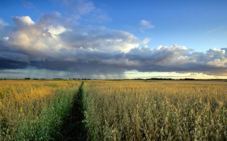 Фото поле, овёс, дождь, пейзаж