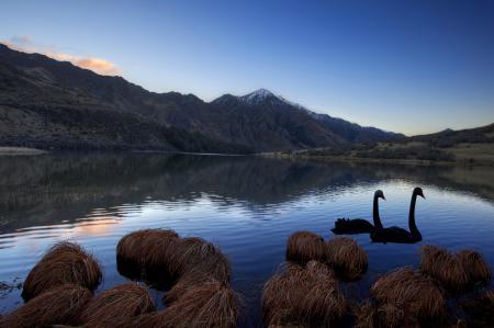 Обои озеро, горы, лебеди, пейзаж