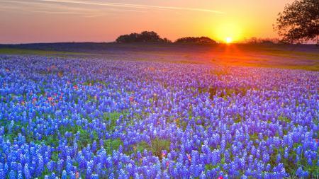 Фото луг, цветы, закат, люпин
