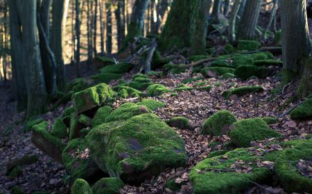 Фотографии мох, камни, лес