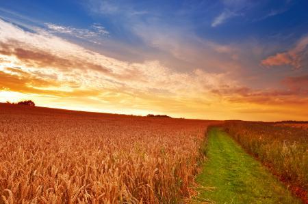 Обои поле, пшеница, колосья, дорога