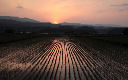 Картинки рис, поле, закат
