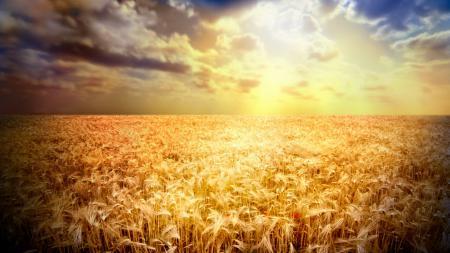 Обои поле, пшеница, колосья, мак