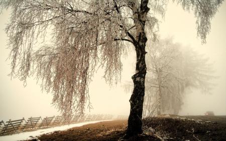 Обои дерево, берёза, зима, иней
