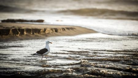 Фото seagull, san gregorio, california, pacific