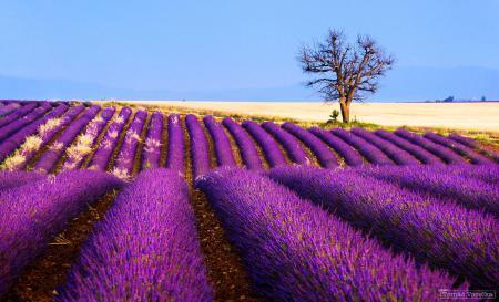 Фотографии цветы, лаванда, поле, плантация
