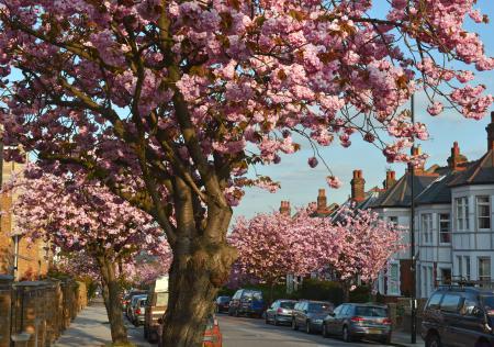 Заставки Muswell Hill Cherry Blossom, дерево, цветы, улица
