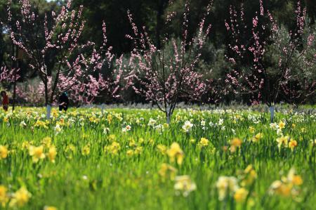 Картинки весна, деревья, цветущие, вишни