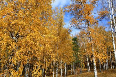 Картинки осень, Россия, деревья, березы