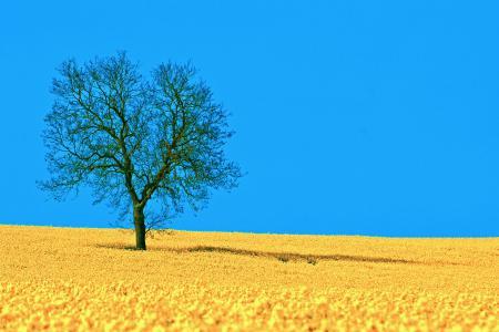 Обои природа, поле, рапс, весна