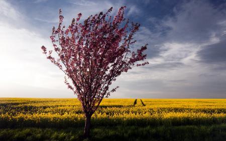 Обои дерево, поле, рапс, лето