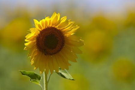 Фотографии подсолнух, желтый, пчела. фон