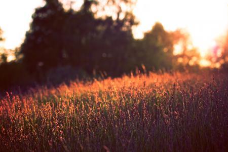 Фото природа, поле, цветы, вечер