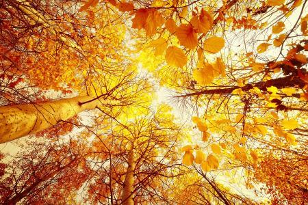 Фото вид снизу вверх, высокие деревья, осенний лес, желтый фон