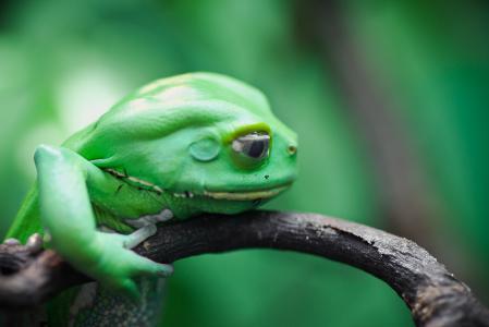 Обои Чакская филломедуза, земноводное, waxy monkey, leaf frog