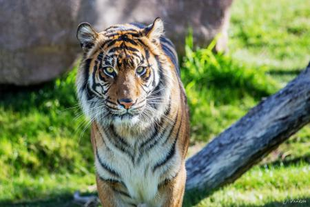 Картинки тигр, суматранский, хищник