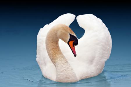 Фото лебедь, вода, красавец