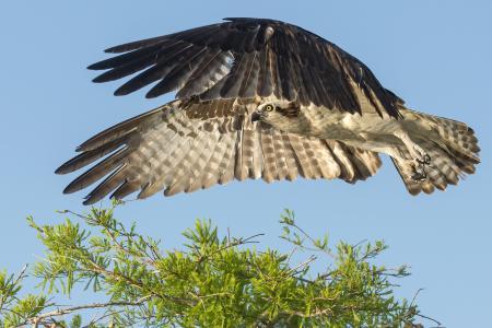 Заставки птица, ястреб, полет, ветка