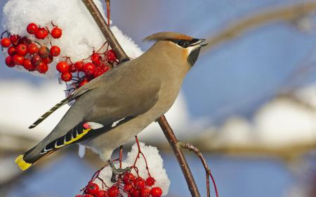 Картинки птица, рябина, снег, ветка