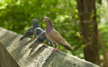 Заставки птицы, голуби, забор