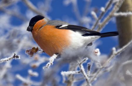 Картинки птица, снегирь, ветка