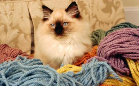 Картинки бирманская кошка, кот, порода, нитки