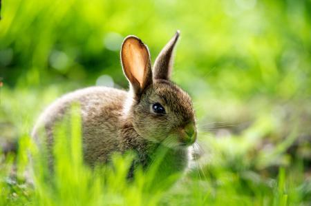 Обои заяц, макро, трава, зелень