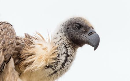 Картинки птица, гриф, природа
