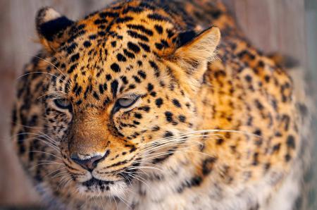 Обои леопард, leopard, киса