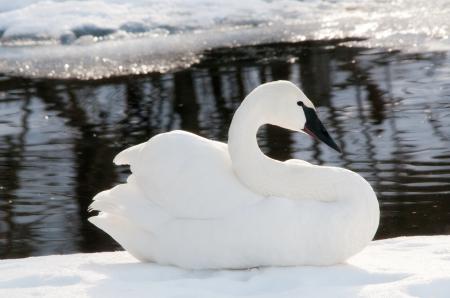 Фотографии зима, снег, белый лебедь, вода