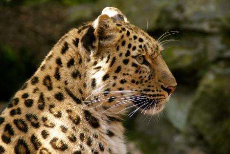 Обои леопард, дикая кошка, хищник, морда